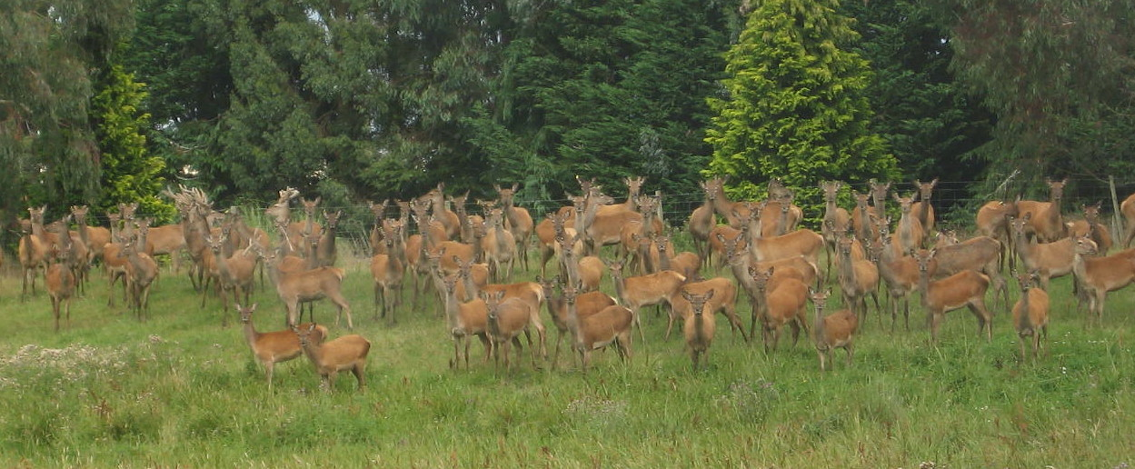 red hine deer herd.jpg